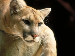 Microsoft Has a Cougar Problem