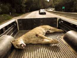 Mountain Lion Killed on Highway 17