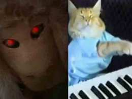 Demon Sheep: California's Keyboard Cat?