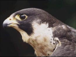 San Jose's Beloved Falcons are New Parents