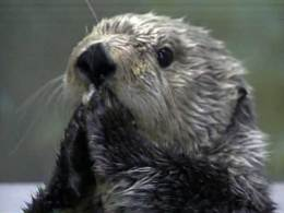 Humans Implicated in Sea Otter Deaths