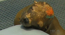 Vets Work to Unravel Mystery of Sick Sea Lions