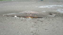 Another Dead Whale Washes Up at Point Reyes Seashore