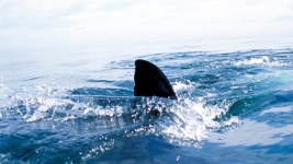 2015 Sets Record for Most Shark Attacks, With 98 Worldwide