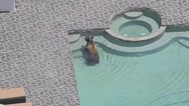 Watch: Bear Takes a Dip in SoCal Backyard Pool