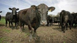 Cattle Heist: 1,100 Calves Missing From Texas Dairy Farm