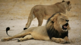 Man Accused in Lion Death Says He Thought Hunt Was Legal