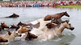 Annual Chincoteague Pony Swim off Va. Set for Wednesday