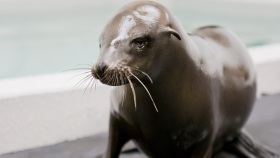 Sea Lion Pup Blinded by Gunshot Wounds Finds New Home