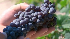 Napa Has a Grape Vine Shortage
