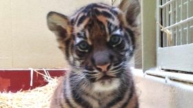 SF Zoo's New Tiger Cub Named After Literary Agent