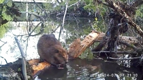 Beavers Discovered In San Jose River