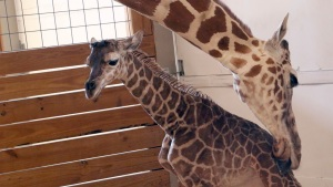 April the Giraffe's 'Not So Little' Calf Turns 6 Months Old