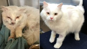 Cat Up for Adoption in Burlingame After Being Hit by Car