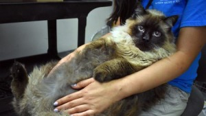 'Huge Cat Alert': 29-Pound Feline Finds Forever Home After Rescue