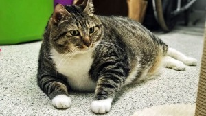 Anyone Want to Adopt a 28-Pound Cat? Doughnut Needs a Home