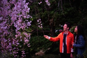 A Special Night Viewing of Cherry Blossoms at Hakone Gardens