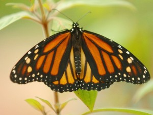 Monarch Beauty in Pacific Grove