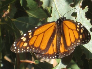 California Western Monarch Day