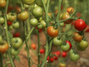 Tomato Time at Love Apple Farm