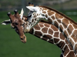 Wild Jungle Love at Safari West