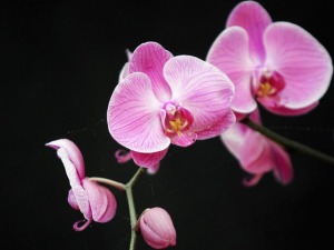 Orchid Party: Winchester Mystery House Abloom