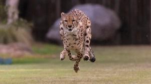 Inspiring: San Diego Cheetah's Story
