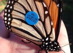 Monarch Butterflies: See a Tag, Make the Call