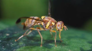 Discovery of Oriental Fruit Flies Spurs 8-Week Treatment in Parts of San Jose, Monte Sereno
