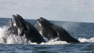 "VIDEO: Monterey Bay Humpback Whales ""Bully"" Feasting Orcas"