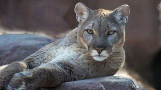 Mountain Lion Sighting in Portola Valley Confirmed by Sheriff's Deputies