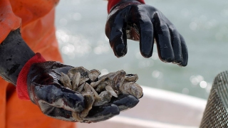 Public Health Office Warning Consumers to Stay Away from Bivalve Shellfish, Rock Crabs