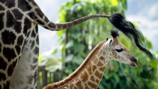 Foster City Couple Freed After Being Locked Up for Allegedly Poaching Giraffe Bone