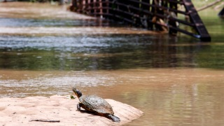 Threatened Western Pond Turtles To Be Released in San Francisco's Mountain Lake