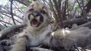 Researchers Find Three Mountain Lion Kittens in Sonoma County