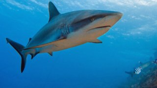 "San Jose State Researcher's Rare Sharks Featured On Discovery Channel's ""Shark Week"""