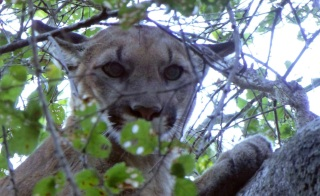 Aggressive Mountain Lion Seen in Resident's Backyard in San Mateo County