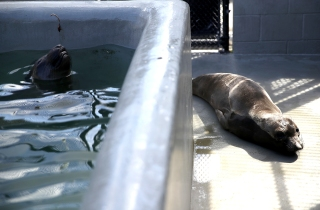 Marine Mammal Center Urgently Seeking Volunteers for Seal Pupping Season