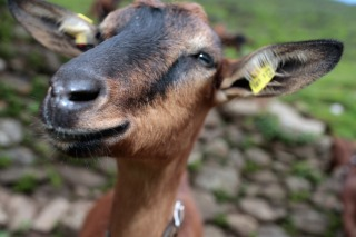 Richmond Turns to Goats to Deter Dumping