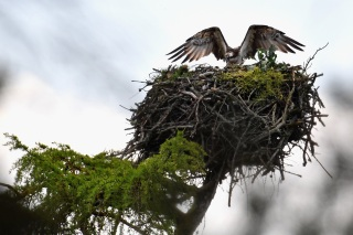 Live Osprey Cam in Richmond Goes Silent Until Spring