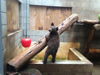 Lake Tahoe Wildlife Care Gets 8 New Bear Cubs