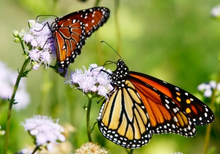Monarch Butterflies Bid Farewell