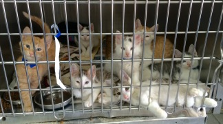 Kittens Put Down in Hayward to Stop Spread of Preventable Feline Disease