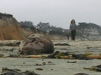 Dead Sea Lions Pile Up Along Peninsula Coastline