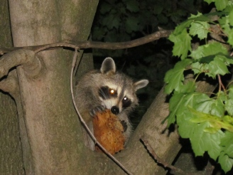 Atherton Dog Chases Raccoon Up Tree, Gets Stuck