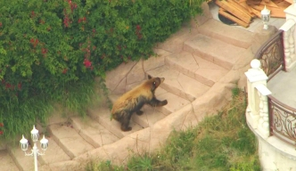Bear on the Run in San Gabriel Valley Neighborhood