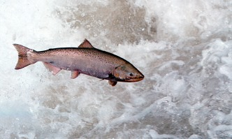 Salmon Reproduce in River for First Time in 60 Years