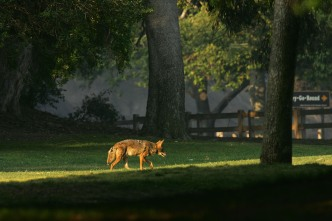 Coyote Sighted in Southern Hills Area