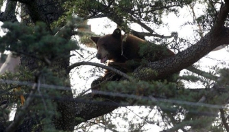 Bear Climbs Tree After School Campus Visit