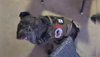 Where's Gunny? Thief Steals a Marine's Service Bulldog